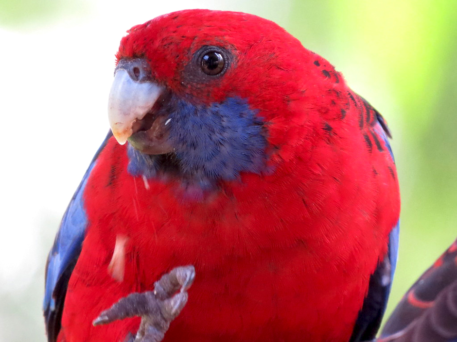 The rosella that took Mike's finger