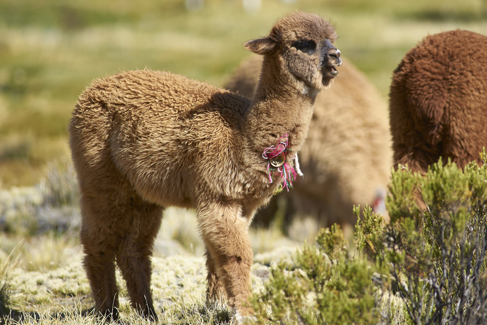 >Baby Alpaca in northern Chile.