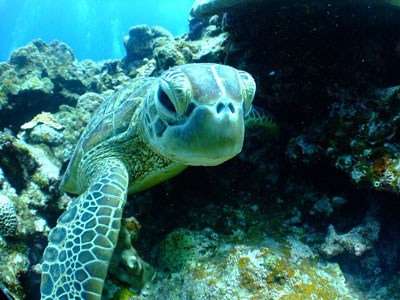 Roatan dive with turtles